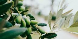 Yrttiopas osa 4: Oliivinlehti